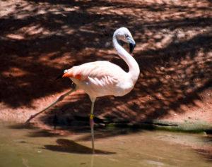 Palm Beach Zoo Flamingo