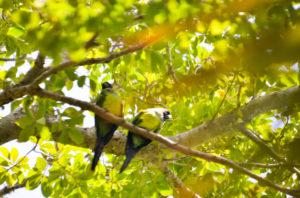 Siesta Key Parrots
