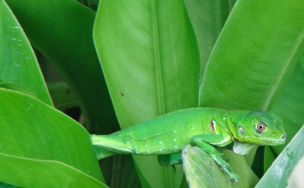 Aruba Lizard