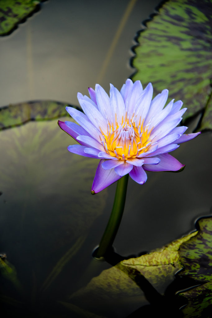 Water Lily MOBOT