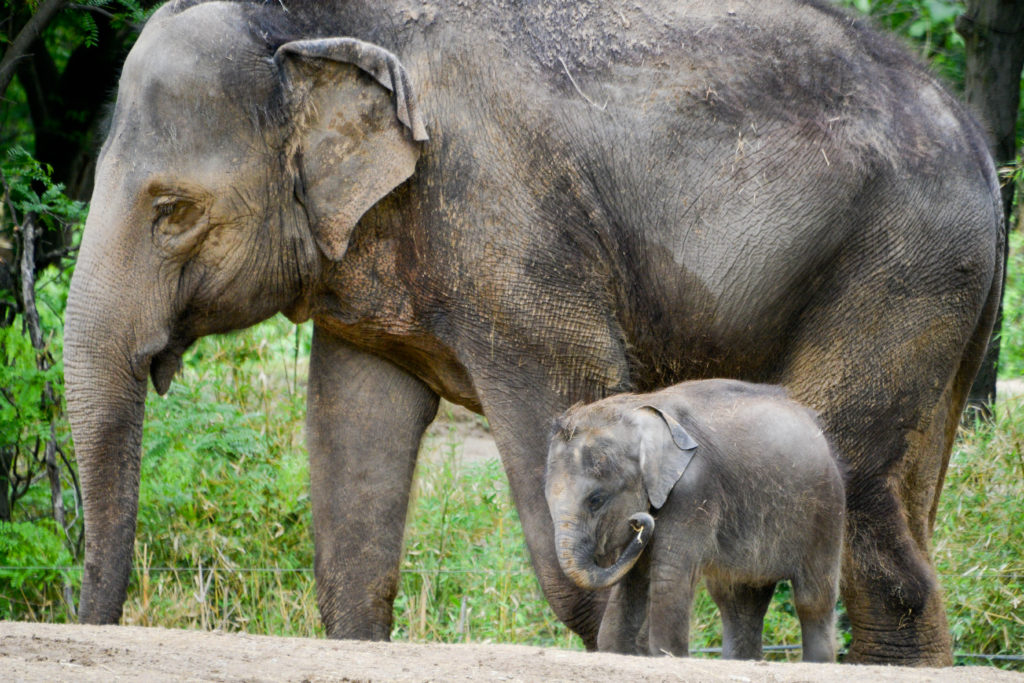 Elephants St. Louis Missouri Zoo