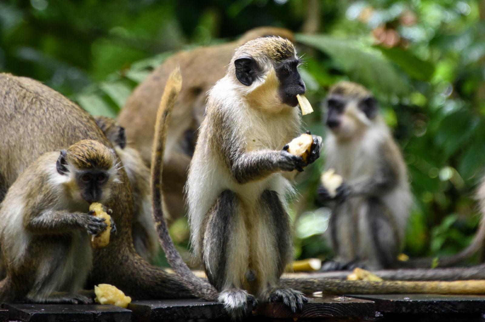 Barbados Welchman Hall Gully Green Monkeys